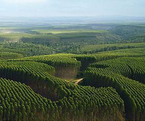 eucalyptus-forest-plantation-lg